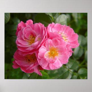quatre roses de buisson fleurissant rose dans le j poster