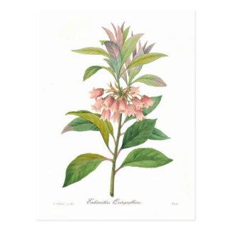 Quinqueflorus d'Enkianthus Carte Postale