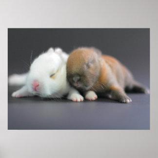 Race de mélange des lapins nains de Netherland Posters