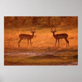 RAM d'impala (Aepyceros Melampus) au coucher du Posters