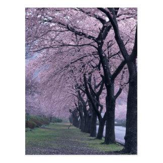 Rangée des arbres de cherryblossom cartes postales
