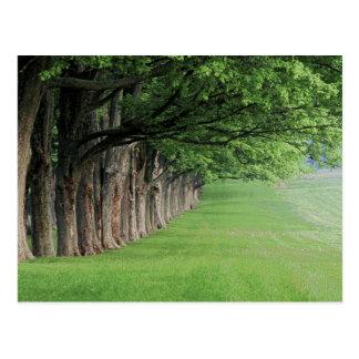 Rangée majestueuse des arbres, Louisville, Carte Postale