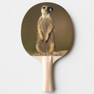 Raquette De Ping Pong L'Afrique, Namibie, Keetmanshoop, Meerkat