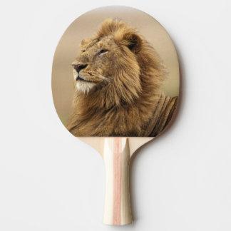 Raquette De Ping Pong Le Kenya, masai Mara. Lion de mâle adulte sur le