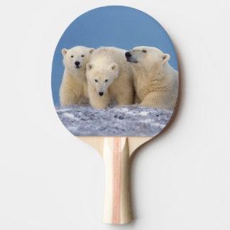 Raquette De Ping Pong ours blanc, maritimus d'Ursus, truie avec des