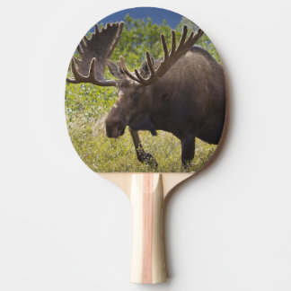 Raquette De Ping Pong Un grand orignal de taureau se tient parmi des
