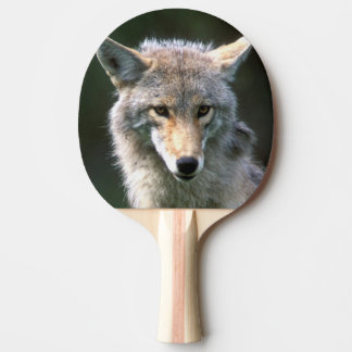 Raquette Tennis De Table Le Canada, Colombie-Britannique, coyote (latrans
