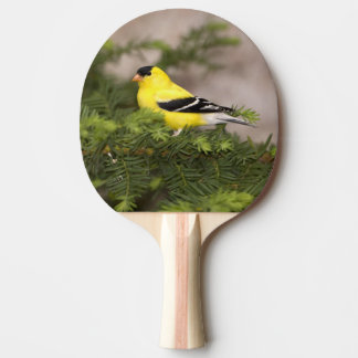 Raquette Tennis De Table Mâle américain de chardonneret dans un arbre