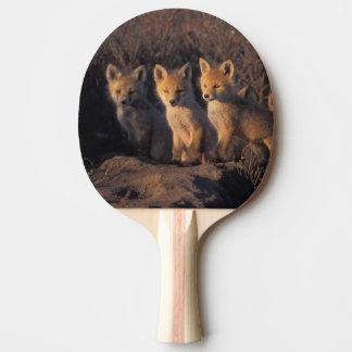 Raquette Tennis De Table renard rouge, vulpes de Vulpes, kits en dehors de