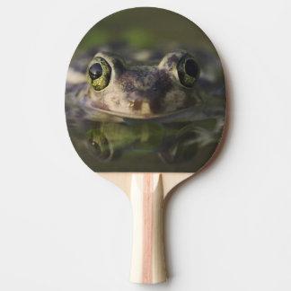Raquette Tennis De Table Spadefoot du divan, couchii de Scaphiopus, adulte,
