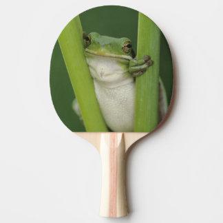 Raquette Tennis De Table Treefrog vert, Hyla cinerea, adulte, lac