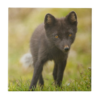Recherches de renard arctique de nourriture carreau