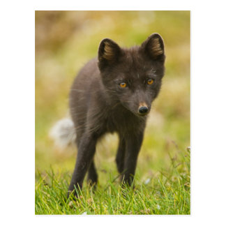 Recherches de renard arctique de nourriture carte postale