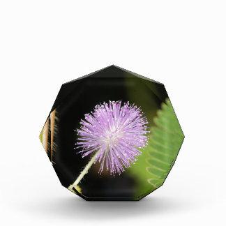 Récompense Plante sensible (pudica de mimosa)