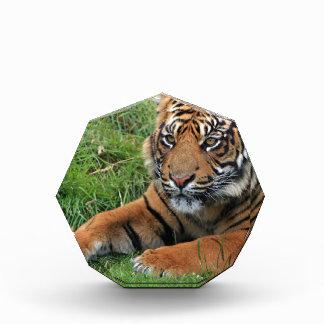 Récompense Portrait de CUB de tigre