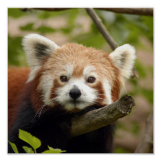 red-panda-005 poster