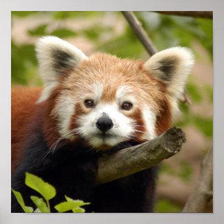 red-panda-007 posters