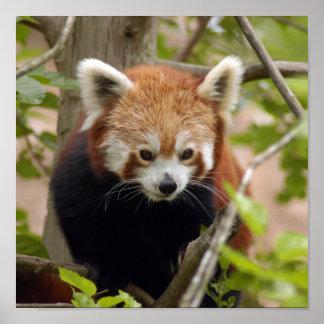 red-panda-023 posters