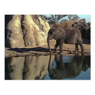 réflexions d'éléphant africain cartes postales
