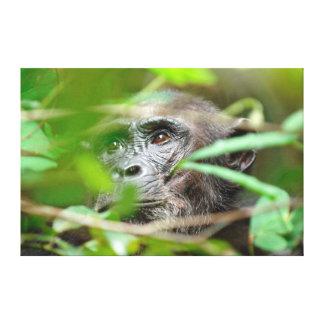 Regard sauvage de chimpanzé (troglodytes de toiles