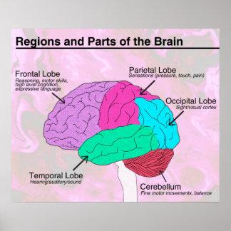 Régions et parties du cerveau poster