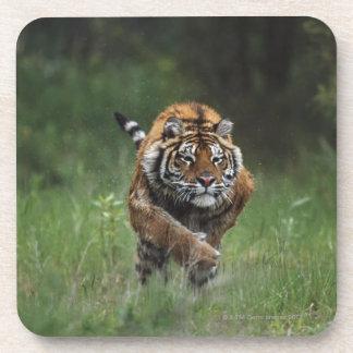 Remplissage humide de tigre sibérien sous-bock