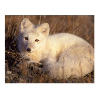 renard arctique, lagopus d'Alopex, manteau Cartes Postales