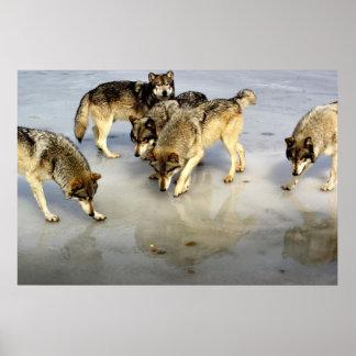 Rencontrez la meute de loups poster