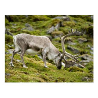 Renne 2 du Svalbard Carte Postale