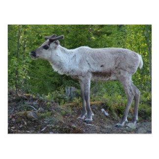 Renne en carte postale de la Laponie