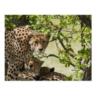 Repos de guépards à la nuance carte postale