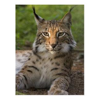 repos magnifique de lynx cartes postales