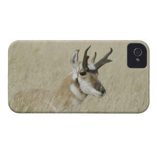Repos masculin de Pronghorn, Yellowstone NP, Coques Case-Mate iPhone 4