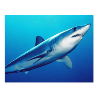 Requin de Mako de Shortfin Carte Postale