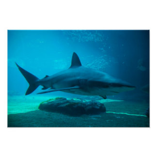 Requin sombre (Carcharhinus Obscurus), Ushaka Poster