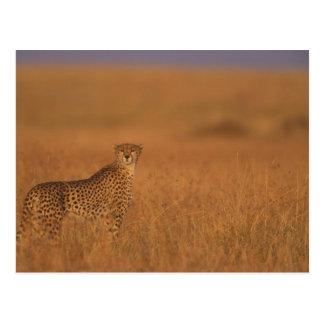 Réservation de jeu de l'Afrique, Kenya, Mara de Cartes Postales