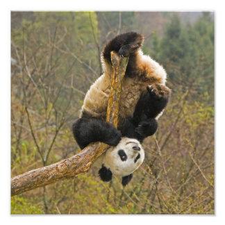 Réservation de panda de Wolong, Chine, 2 1/2 an Photo D'art