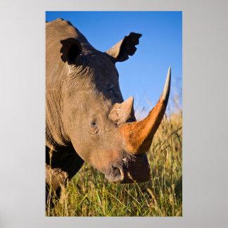 Rhinocéros blanc (Ceratotherium Simum), Itala Poster
