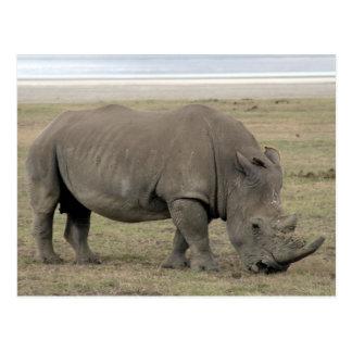 rhinocéros carte postale