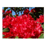 Rhododendrons rouges d'été de cartes postales de R
