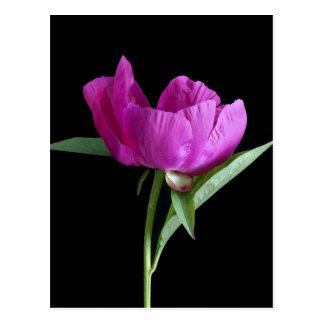 rose-pivoine carte postale