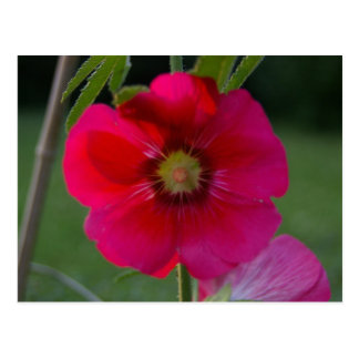 Rose rose de carte postale de Sharon