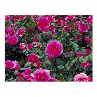 Roses assez roses sur le buisson carte postale