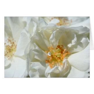 Roses blancs et soleil cartes