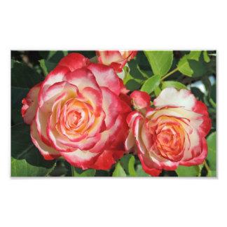 Roses blancs rouges photos d'art