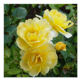 Roses crèmes de beurre poster