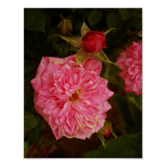 Roses roses affiche