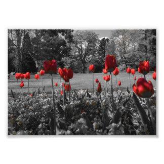 roses rouges dans la photographie noire et blanche