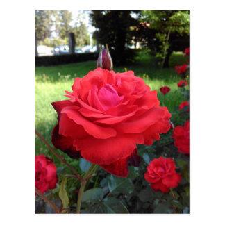 Roses rouges magnifiques cartes postales
