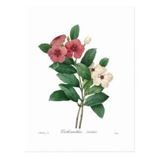Roseus de Catharanthus Carte Postale